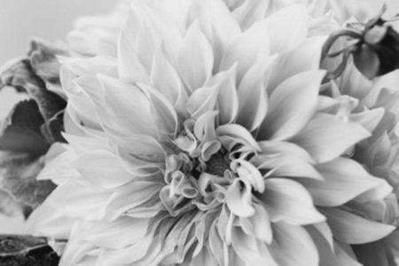 大好きなDahila・ダリアの花!
